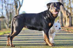 Este pequeño Terrier dejó preñada a esta Rottweiler. Mira sus adorables cachorros