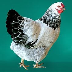 Columbian Wyandotte from My Pet Chicken. Two for our broody momma, March 2015
