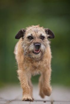 Border Terrier. Hope to get one someday.