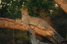 Leopard cub in tree by Gary Parker Photos, via Flickr