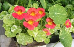 Nasturtiums are one of my favourites !! This is such a useful plant to have in the garden. The flowers and leaves are edible, the good bugs love them, they add amazing colour to any space in your garden and they are a big benefit when grown around fruit trees, they assist with soil microbes. Also a very easy plant to grow, just sow the seeds directly into your garden !!