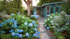Hydrangeas define the South like sweet tea and cornbread. The Grumpy Gardener shares his tips for growing beautiful blooms, year after year.See More: Hydrangea Varieties
