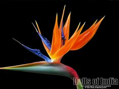 http://www.dollsofindia.com/images/products/flower-posters/bird-of-paradise-CW52_l.jpg