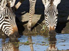 Burchell's Zebras Drinking, Tanzania