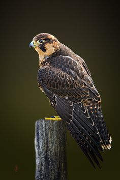 Barbary falcon (Falco pelegrinoides) by Jean-Claude Sch. on 500px