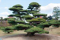 White pine....looks like a giant Bonsai....beautifully shaped.