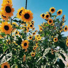 aloha, beautiful, blue, sunflower, yellow
