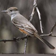 North+American+Birds | life habitat pictures of the brown crested flycatcher name b
