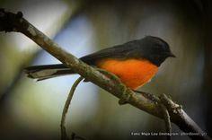 El chipe de montaña (Myioborus miniatus) es una de las aves más fácilmente vistas en la reserva.  The slate-throated whitestart (Myioborus miniatus) is one of the most easily spotted birds in the reserve.  #guatemala #guatelinda #guatemorfosis #ecoturismo #turismo #bosque #naturaleza #paz #birds #birdwatching #aves #fauna #bird #viaje #eltular #reserva #nature #peace #relax #enjoy #travel #destination #502 #eco #ecofriendly #reserve #sustainability #perhapsyouneedalittleguatemala  Foto…