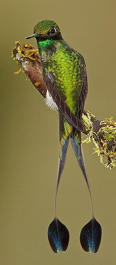Booted Racket-tail <3 ooit gezien op een paar meter zoemde het vogeltje om me heen.....