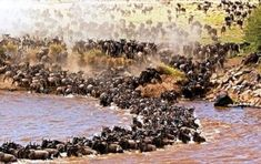 """Wildebeest: """"The Great Migration."""" Over 2 million of these animals migrate from The Serengeti National Park in Tanzania, to the greener pastures of The Masai Mara National Reserve in Kenya, during July through to October. Wildlife Safari, Wildlife Nature, Diani Beach, The Great Migration, Serengeti National Park, Tanzania Safari, Kilimanjaro, African Safari, African Animals"""