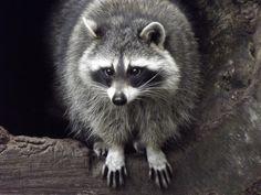 raccoon :D