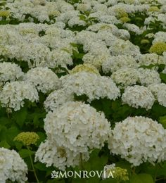 Monrovia's Annabelle Hydrangea details and information. Learn more about Monrovia plants and best practices for best possible plant performance.