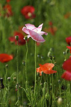 Poppy | Flickr - Photo Sharing!