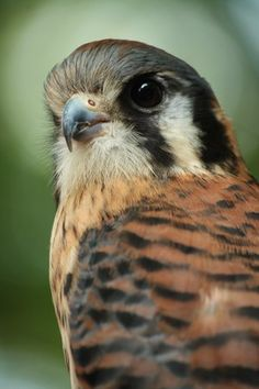 American Kestrel by ~ EdgedFeather*