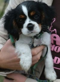 Cavalier King Charles Spaniel Puppy- so yeah Otto reaches for these guys every time he sees them