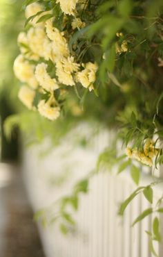 Yellow Roses on a White Picket Fence