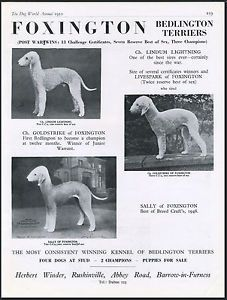 BEDLINGTON-TERRIER-DOG-WORLD-VINTAGE-1950-BREED-KENNEL-ADVERT-PRINT-PAGE