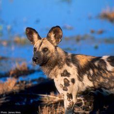 Did you know: The African Wild Dog has been listed as Endangered by IUCN since 1990. Given uncertainty surrounding population estimates, and the species' tendency to population fluctuations, the largest subpopulations could contain fewer than 250 mature individuals, earning the Wild Dog this categorization.