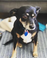 Lola is an adoptable miniature pinscher searching for a forever family near Astoria, NY. Use Petfinder to find adoptable pets in your area.