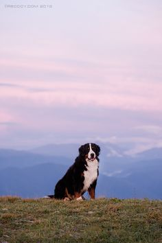 Bernese Mountain Dog, by Kseniya Ressy. I Like Dogs, Big Dogs, Dogs And Puppies, Pyrenean Mastiff, Spanish Mastiff, Bernese Dog, Swiss Mountain Dogs, Bernese Mountain, Animals Of The World