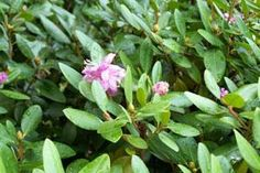 Rhododendron - Additional Common Names: Rosebay, Azalea Scientific Name: Rhododendron spp Family: Ericaceae Toxicity: Toxic to Dogs, Toxic to Cats, Toxic to Horses Toxic Principles: Grayantoxin  See more at link.