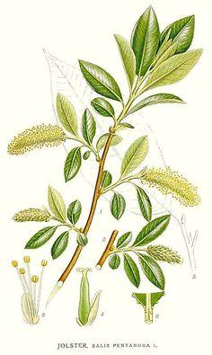 Raudremmelgas. Salix pentandra by Carl Axel Magnus Lindman.