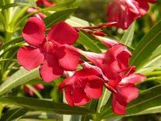 Free Image on Pixabay - Oleander, Bush, Nerium Oleander Nerium, Plants For Chickens, Laurier Sauce, Gaura, Hedging Plants, Poisonous Plants, Wonderful Flowers, Beautiful Roses, Evergreen Shrubs