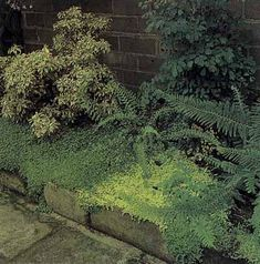 For the shady area, a raised bed wit ferns and this ground cover would be awesome. I'd love even a false wall behind too. The ground cover is composed of baby's-tears in shades of lemon and lime.
