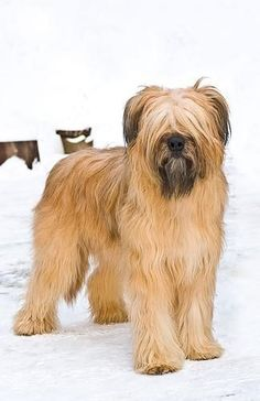Briard / Berger de Brie #Dog #Puppy