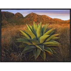 Global Gallery Agave Plants and Chisos Mountains Seen from Chisos Basin, Big Bend National Park, Chihuahuan Desert, Texas by Tim Fitzharris Framed Photographic Print on Canvas Deserts In The Us, Mexican Desert, Texas Wall Art, National Geographic Images, Desert Photography, Agave Plant, Desert Plants, Painting Edges, Stretched Canvas Prints