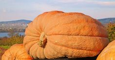Take a #RoadTrip to Check Out the Country's Biggest #Pumpkins