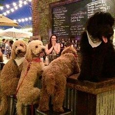 Pick Funny Labradoodle Pooch Party Of The Day Chubby Puppies, Chihuahua Puppies, Diy Dog Toys, What Kind Of Dog, Dog Smells, Big Animals, Mini Dachshund, Elephant Love, Small Dogs