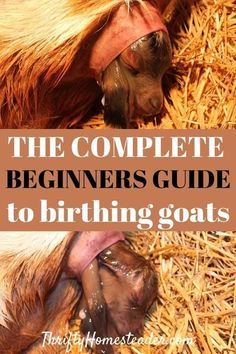 How To Raise Goats: Natural Goat Care for Meat, Milk and Profits in Your Backyard - Tools And Tricks Club Breeding Goats, Goat Shelter, Goat Pen, Raising Goats, Raising Kids, Goat Care, Nigerian Dwarf Goats, And So It Begins, Goat Farming