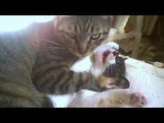 Video Really dangerous to hold your LAUGH -  FUNNY CAT VIDEOTap the link to check out great cat products we have for your little feline friend!