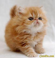 Fluffy Little Orange Kitten.