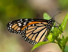 Monarch butterflies can survive the world's most amazing migration—but GMOs are wiping them out