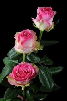 How to Plant Potted Flowers Outdoors in the Soil : Garden Space – Top Soop Beautiful Rose Flowers, Pretty Roses, Amazing Flowers, Beautiful Flowers, Lavender Roses, Pink Roses, Pink Flowers, Pink Rose Pictures, Rose Flower Wallpaper