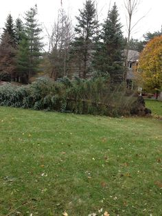Downed blue spruce