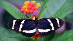 Passion Butterfly, Butterfly