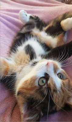 Cute Baby Cats, Cute Little Animals, Cute Cats And Kittens, I Love Cats, Crazy Cats, Kittens Cutest, Kittens Meowing, Siamese Kittens, Kittens Near Me