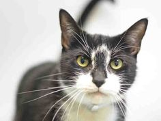 **RETURN**  **DECLAWED FRONT PAWS**  BUTTONS – A0975357  NEUTERED MALE, BLACK / WHITE, 4 yrs, Reason NO TIME,Super Urgent Shelter Cats  These animals are either high risk, injured or have previously appeared on the To Be Destroyed list and survived. They are in danger of being on the list again or destroyed without any further notice.