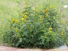 Senna hirsuta var. glaberrima. Slimpod Senna. Native herbaceous perennial shrub. Butterfly larval source. Better alternative to Australian Sennas, which have toxins that kill young caterpillars. Very showy flowers. Upright growth habit. Full sun/part shade. Fast grower.