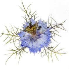 Real Pressed Blue Love In A Mist ($4.75) ❤ liked on Polyvore featuring home, home decor, flowers, fillers, blue home accessories, blue wedding invitations and blue home decor