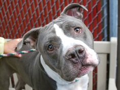 GALLO- A1044702 URGENT URGENT TO BE KILLED!!! Please someone find a RESCUE TO PULL HIM, he is BEAUTIFUL! HE CANT BE KILLED!!! NYC SHELTER PLEASE SHOW MERCY FOR THE 3 DOGS ON THE TO BE DESTROYED LIST N JUST GIVE THEM A COUPLE MORE DAYS!!! PLEASE DONT U WANT TO SEE THESE BEAUTIFUL ANIMALS FIND LOVE IN A FOREVER HOME? PLEASE BE MERCIFUL JUST SOME SYMPATHY PLEASE!!!!