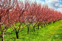 Someday an orchard....