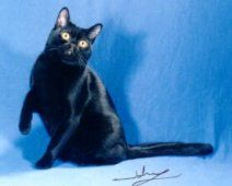 7 Facts About Black Cats: The Bombay Cat is the Only Recognized Black Cat Breed