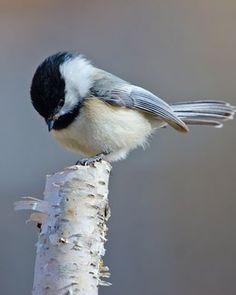 Black-capped Chickadee On Birch Twig Cute Birds, Small Birds, Pretty Birds, Little Birds, Colorful Birds, Beautiful Birds, Animals Beautiful, Cute Animals, Parus Major