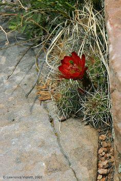 A Claret Cup cactus, Echinocereus triglochidiatus, in habitat on the Mogollon Rim in Arizona.