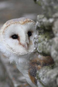 cuiledhwenofthegreenforest:  Owls by Bob7d on Flickr